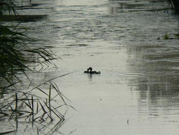 grebes-dans-le-marais